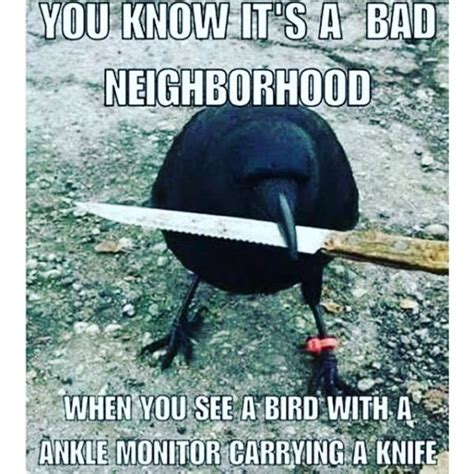 Crow Meme - canada s most notorious crow steals police evidence
