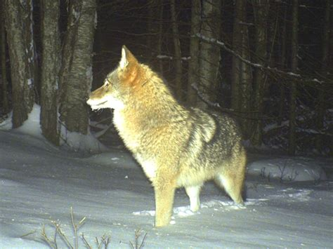 coyote hybrid new coyote wolf hybrid takes hold in maine wcsh6