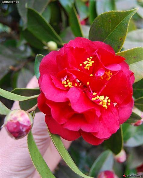 Cammelia Maroon 1 camellia japonica maroon and gold nuccio nurseries usa 1960 camellia fleurs vif