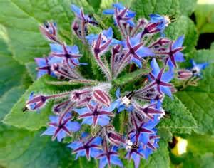Decorative Type Bourrache Planter Et Cultiver Ooreka