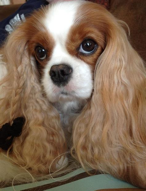 dogs with curly hair and floppy ears 1000 images about cavalier king charles spaniel on