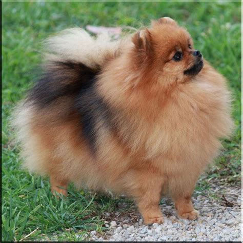 signs of pomeranian dying 300 best pomeranians images on pomeranians animals and pom poms
