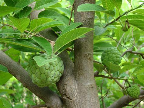 custard apple fruit tree panoramio photo of custard apple tree