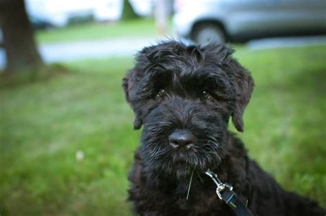 black russian terrier puppies black russian terrier puppies and breed information