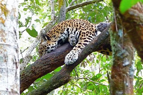 jaguar belize panoramio photo of jaguar belize
