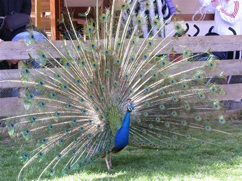 pavos reales pin plumas pavo real tattoo pictures to pin on pinterest