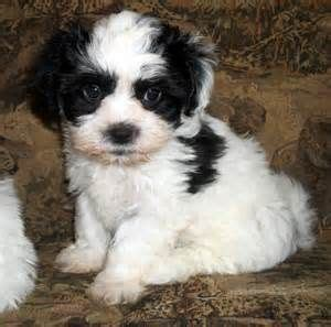 shih tzu poodle mix chicago bichon shih tzu poodle mix images baby animals