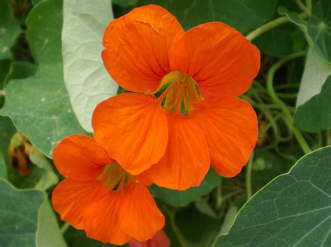 plants that grow in complete darkness nasturtium how to plant grow and care for nasturiums