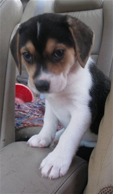 beagle husky mix puppies beagle husky mix an adoptable in flint mi for sale in flint michigan classified