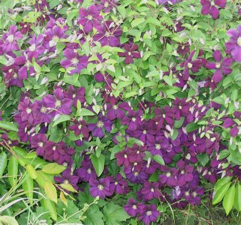 clematis viticella etoile violette 4887 clematis viticella etoile violette hardy 2 year