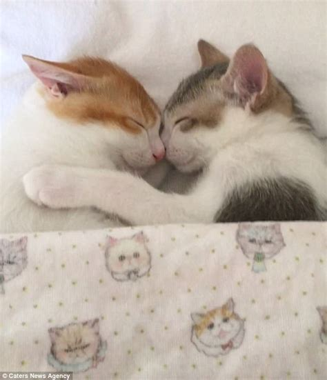 Sleep Cats kittens in japan can t sleep unless they cosy up together