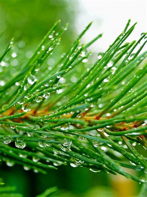 pine branch needles drops wallpaper