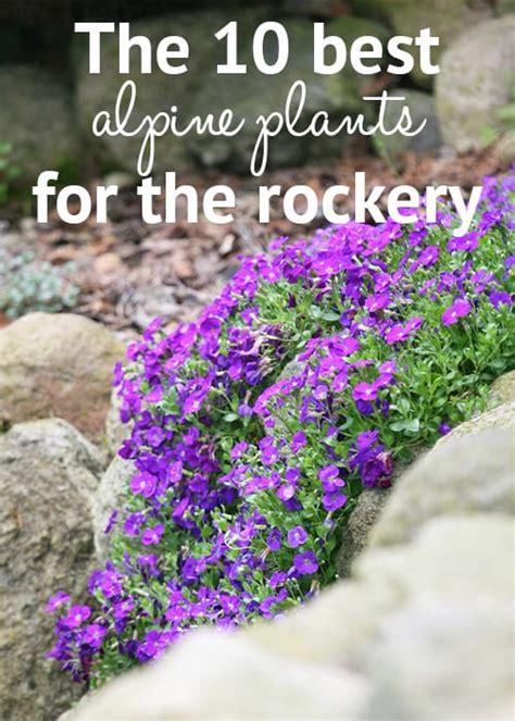 plants for a rock garden rockery plants top 10 plants for an alpine rock garden