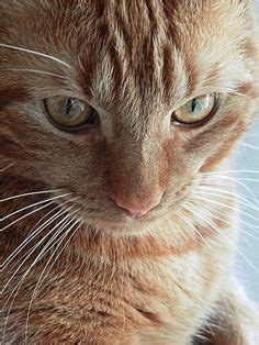 creature comforts cat british shorthair red tabby cats pinterest animals