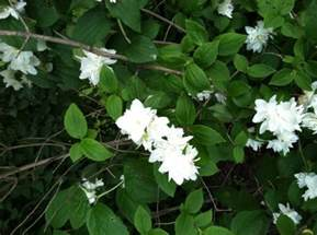 white flower shrub