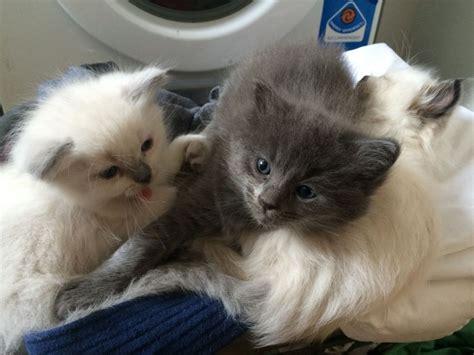 1 2 breed ragdoll kittens 3 4 ragdoll 1 4 kittens for sale battle east