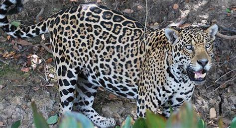 protecting critical habitat  jaguars defenders