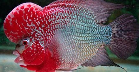 Pakan Khusus Ikan Louhan journey of flowerhorn louhan cacat atau luka pada ikan