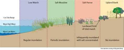 salt ls and plants living shorelines