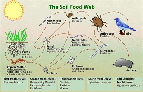 what does a food web diagram illustrate soil microbes