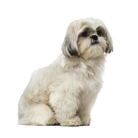 shih tzu rescue ohio shih tzu at petland ohio breeds picture
