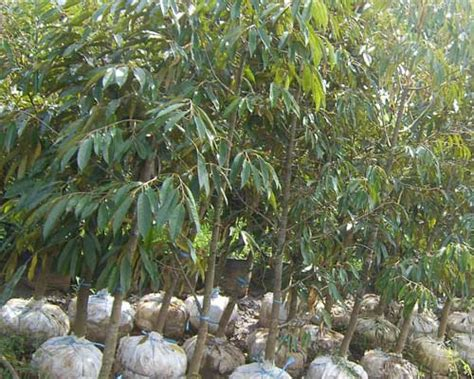 Bibit Durian Nursery Plants Durian Durian Songgon And Durian Grafting