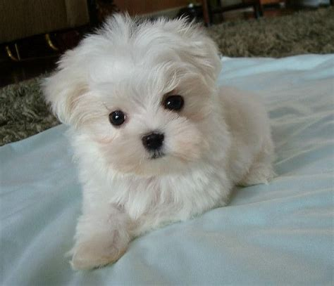 maltese don t 80 best images about dogs that don t shed on poodles maltese puppies and