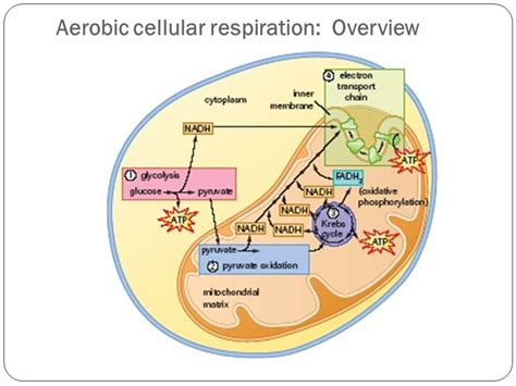 aerobic cellular respiration diagram diagram of aerobic cellular respiration images how to
