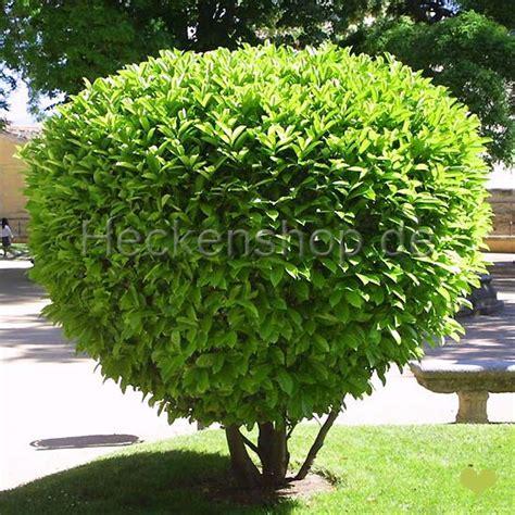 Als Bodendecker 1058 by Kirschlorbeer Rotundifolia 60 80cm Ballenware