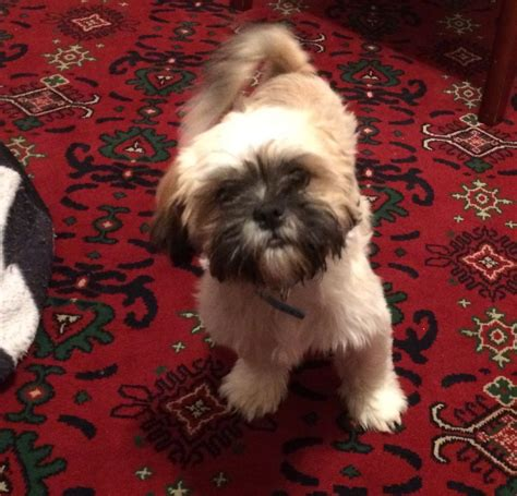 shih tzu 4 months 4 month shih tzu puppy for sale macclesfield cheshire pets4homes