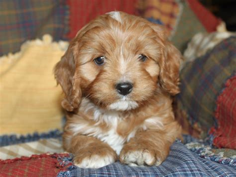 cavapoo puppies illinois cavapoo puppies