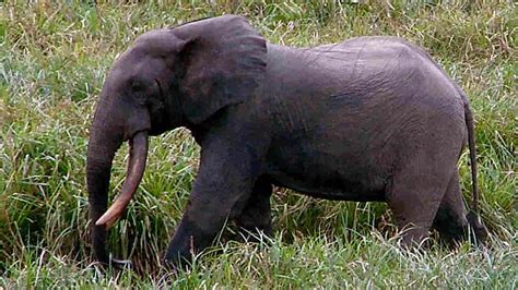 an forest elephant returns from the in gabon elephant poaching pushes species to brink of extinction npr