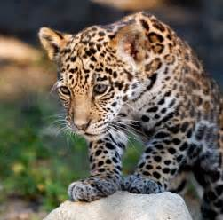 Jaguars Cubs Jaguar Cub Jaguar Cubs Are Beautiful Creatures That Can