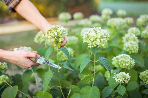 wie trockne ich hortensien hortensienbl 252 ten abschneiden 187 wann und wie wird s gemacht