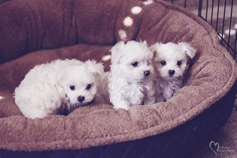 maltese puppies for sale in miami puppies available now 187 maltese matchmaker
