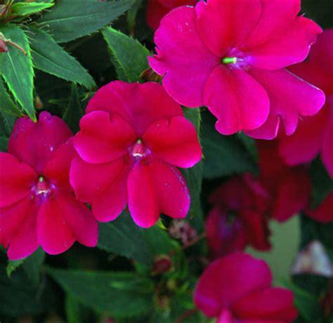 sunpatiens colors sunpatiens bursts of color growjoy