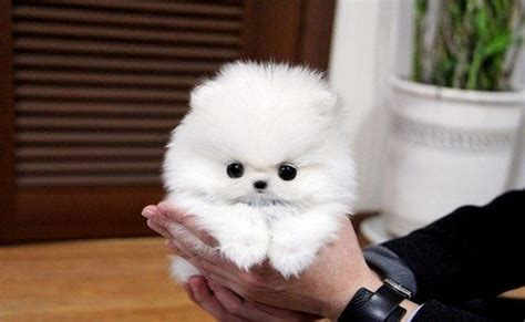 why is my pomeranian not fluffy 17 best images about precious poms on teacup pomeranian