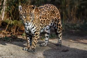 Is A Jaguar A Cat Look Jaguar Cat Predator Spots Wallpaper 2048x1365