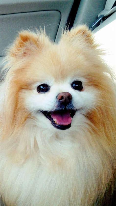 pomeranian like boo boo pomeranian dogs