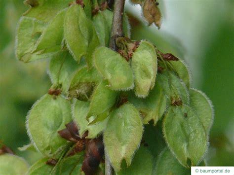 elm tree fruit european white elm ulmus laevis