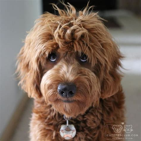 mini goldendoodle images 17 beste idee 235 n mini goldendoodle op