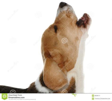 beagle puppy barking barking stock image image 28236111