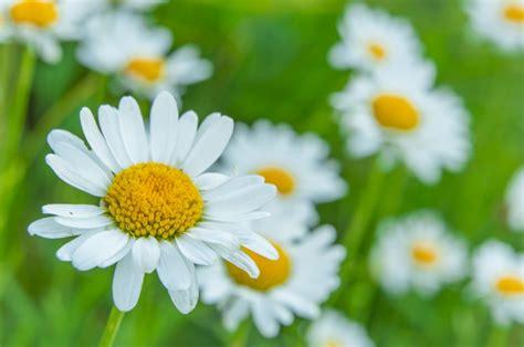 margherite fiori ste artistiche quadri e poster con bianco fiore