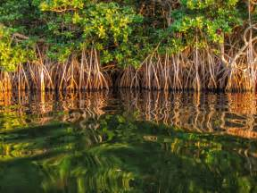Landscaping In Florida by Sunset Glow On Mangrove Reflections Key Largo Fl Flickr