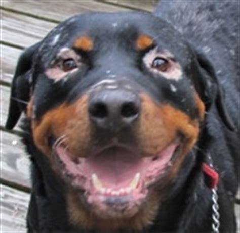 rottweiler with vitiligo gulfstream guardian rottweiler rescue