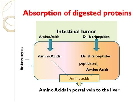 chapter 1 carbohydrates lipids and proteins digestion and absorption of carbohydrates lipids and