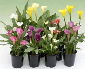 classifieds and group buys forum orders thread pacific callas calla lily bulbs garden org