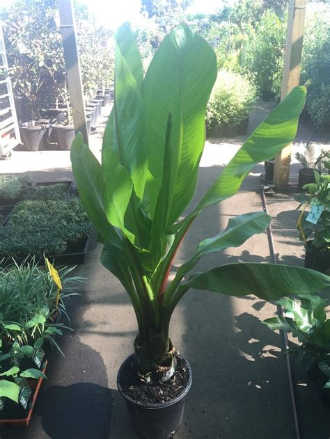 abyssinian banana palm westlake nursery