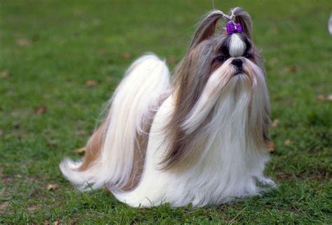 shih tzu coats shih tzu temperament find out shih tzu s disposition
