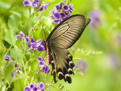 imagenes de mariposas fondos de mariposa fondos de pantalla de mariposa
